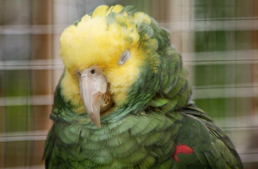 как спят попугаи корелла