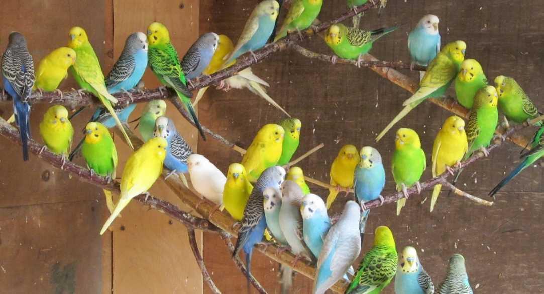уход за попугаем
