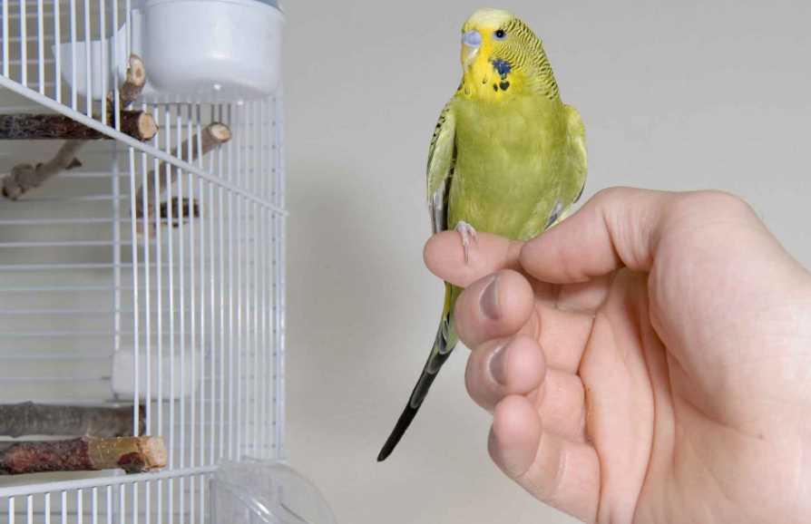как приучить к рукам волнистого попугая