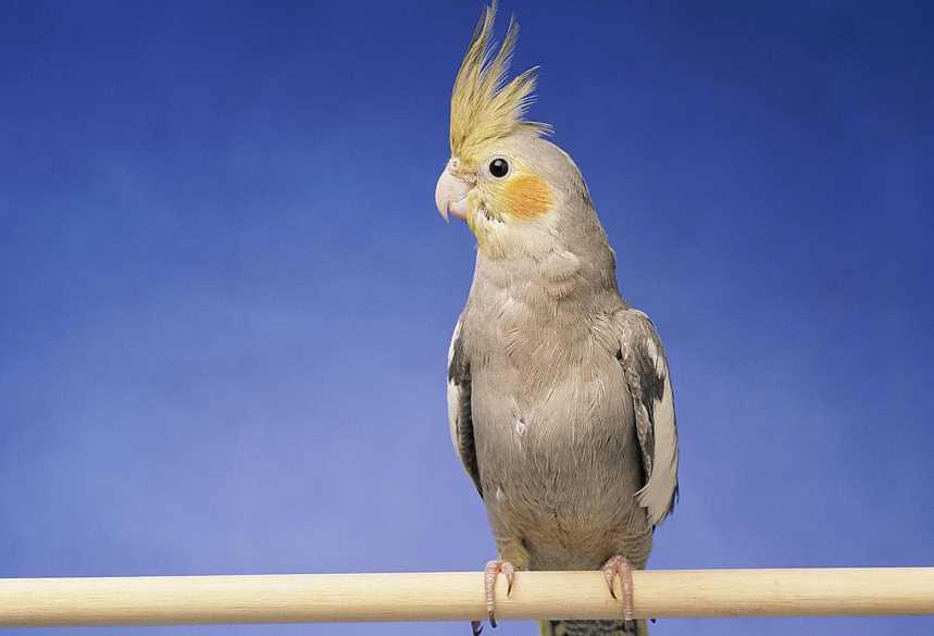 попугай корелла уход и содержание в домашних
