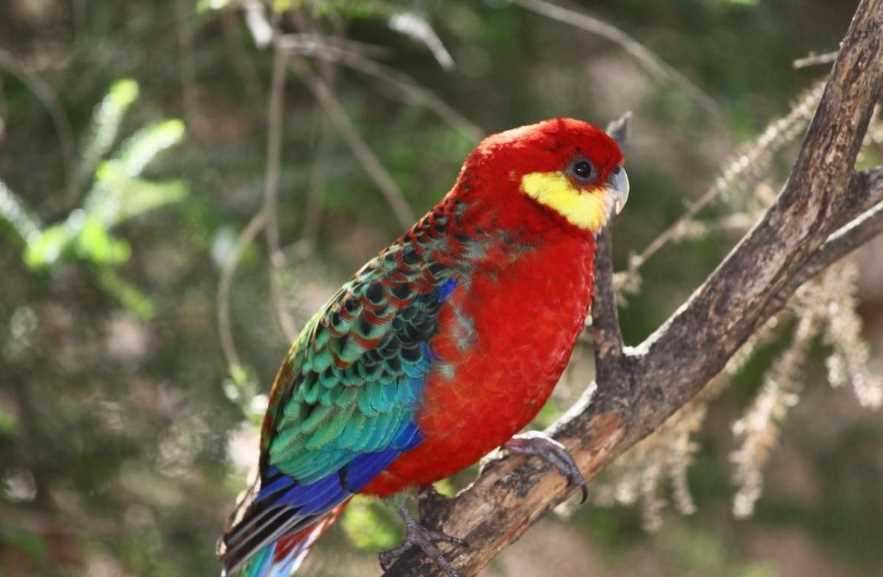 красный попугай розелла