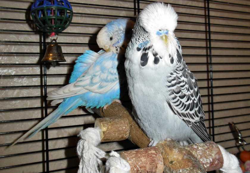 волнистый попугай и чех сравнение