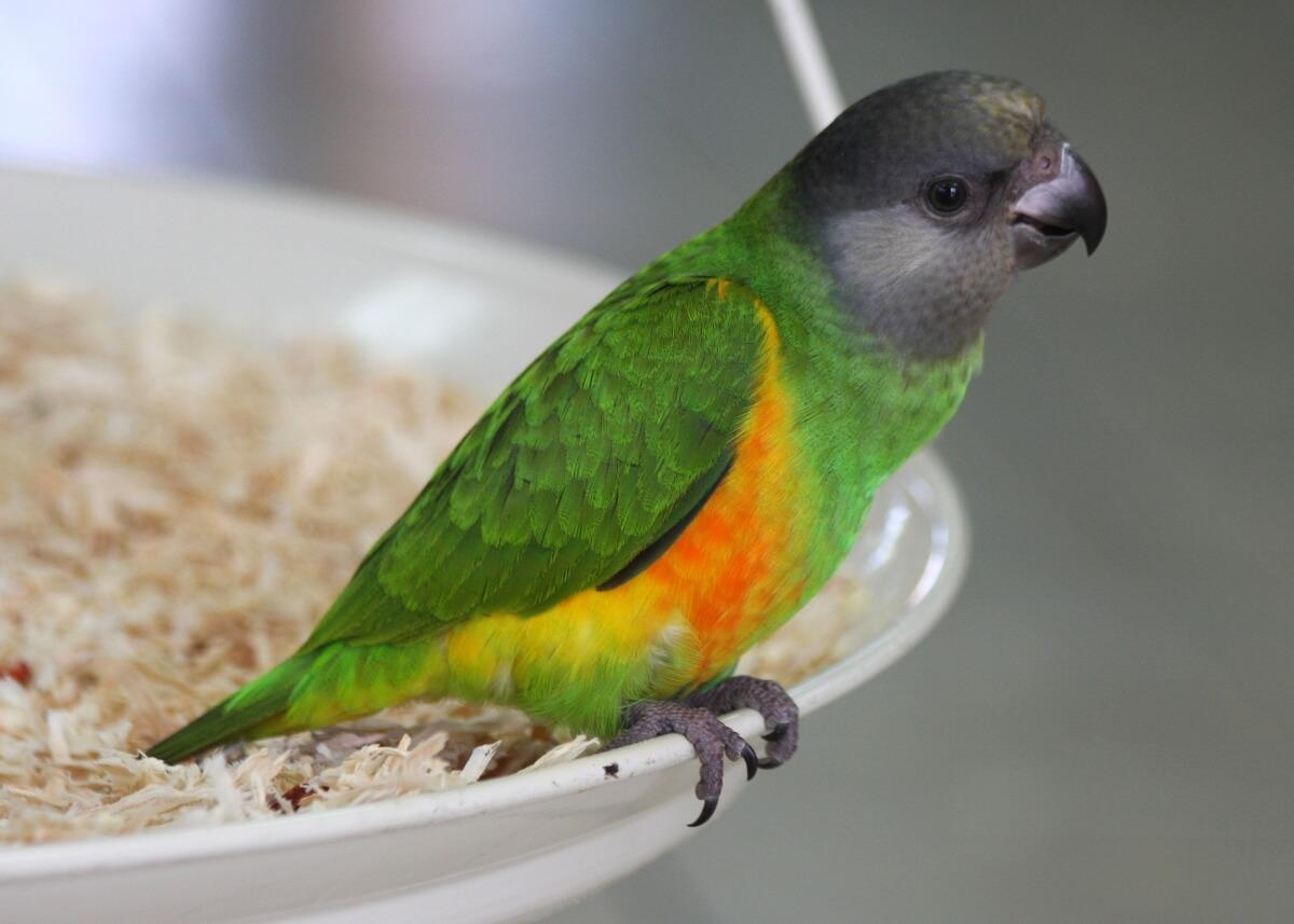 какие виды попугаев есть