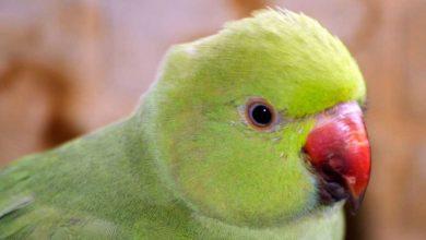 Как приручить ожерелового попугая