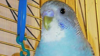Какую воду давать попугаю волнистому