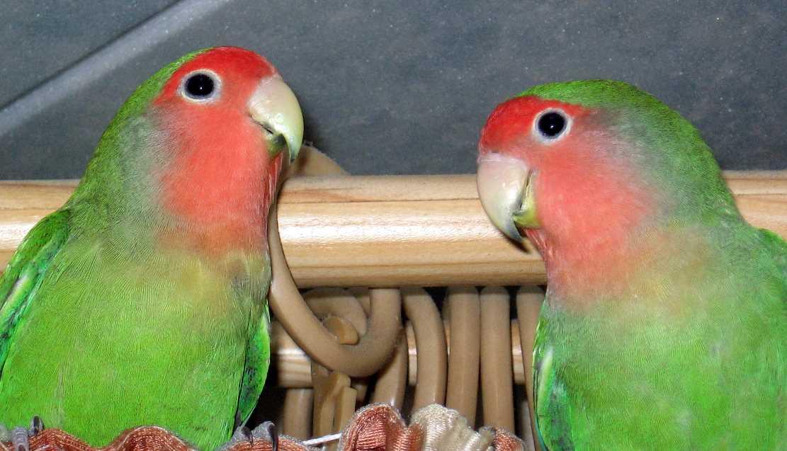 корм для попугаев неразлучников