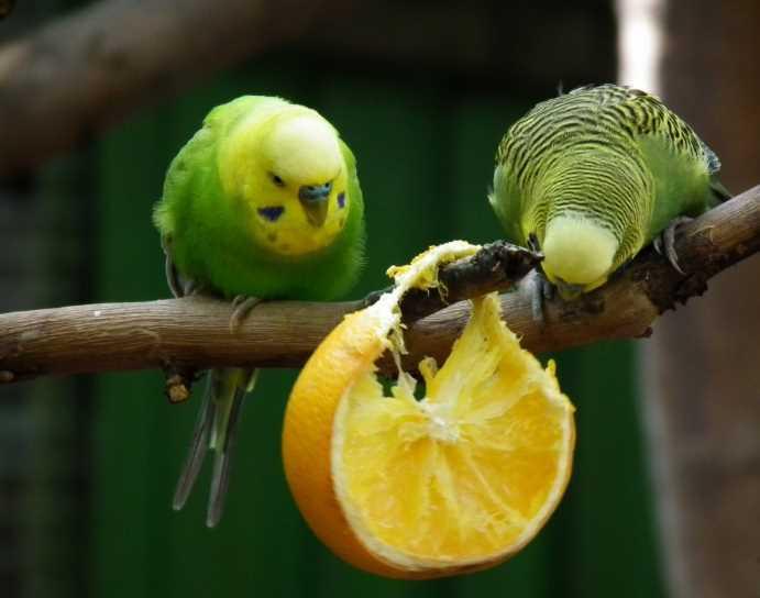 можно ли волнистому попугаю грушум