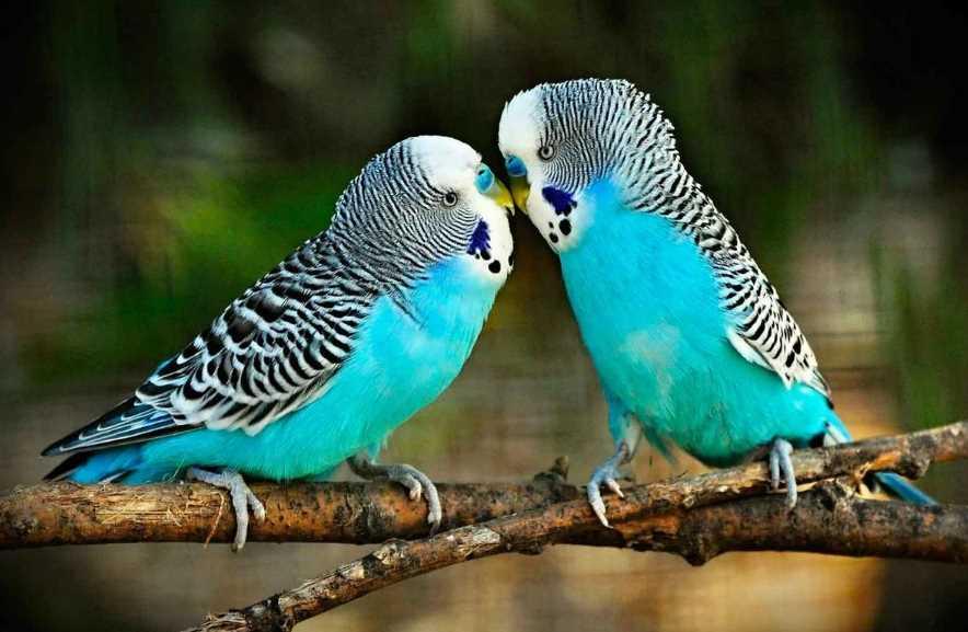 разновидности волнистых попугайчиков