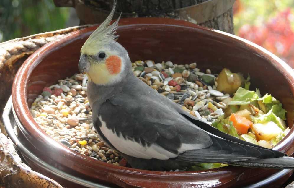 можно ли попугаям семечки