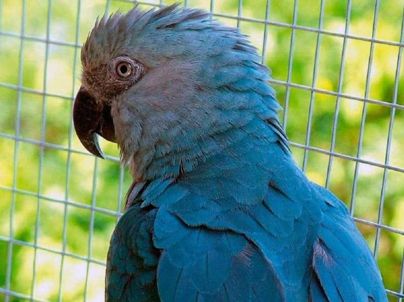 попугай ара описание