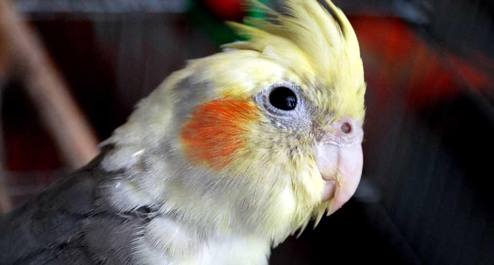 успокоить попугая кореллу как