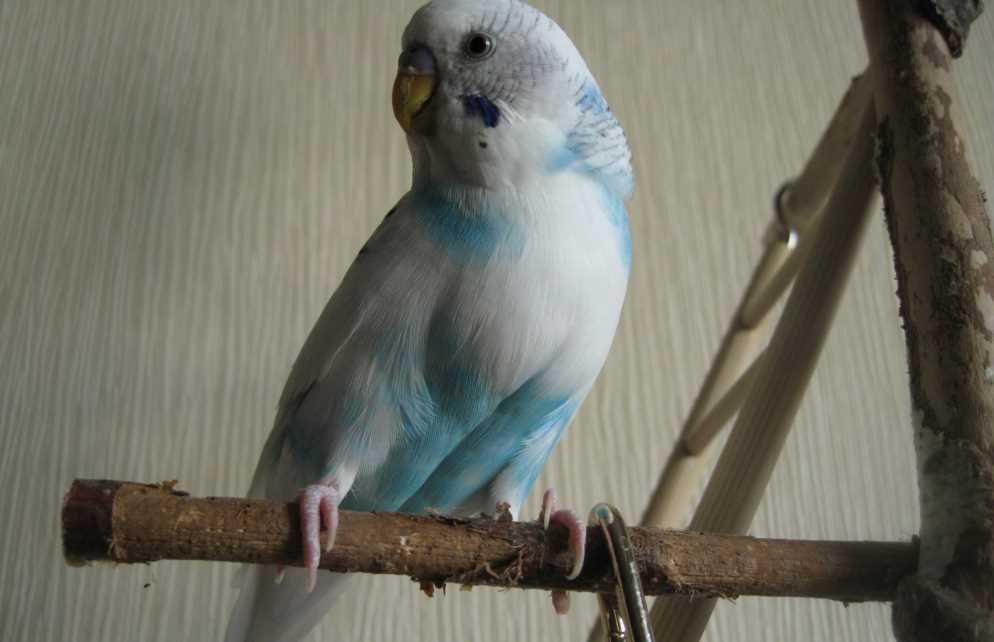 какие ветки можно давать попугаям