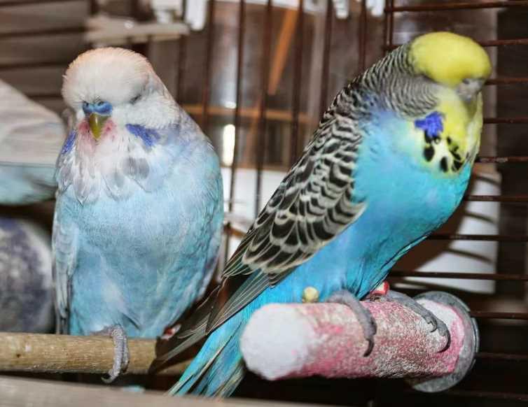 что делать если у попугая понос