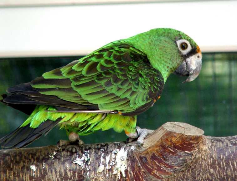 все породы попугаев