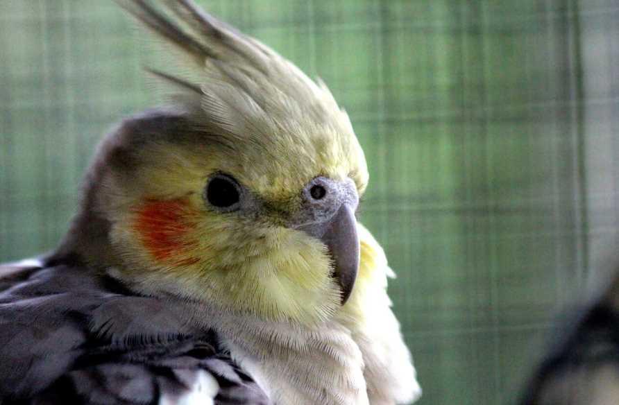 что делать попугай корелла заболел
