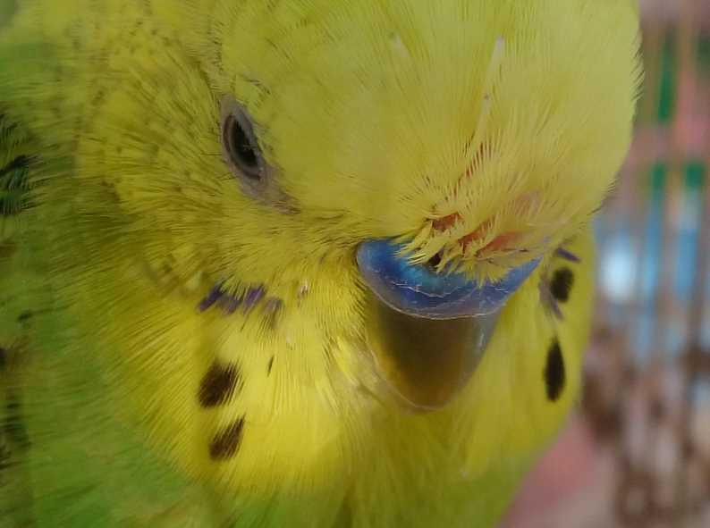 заболел попугай волнистый
