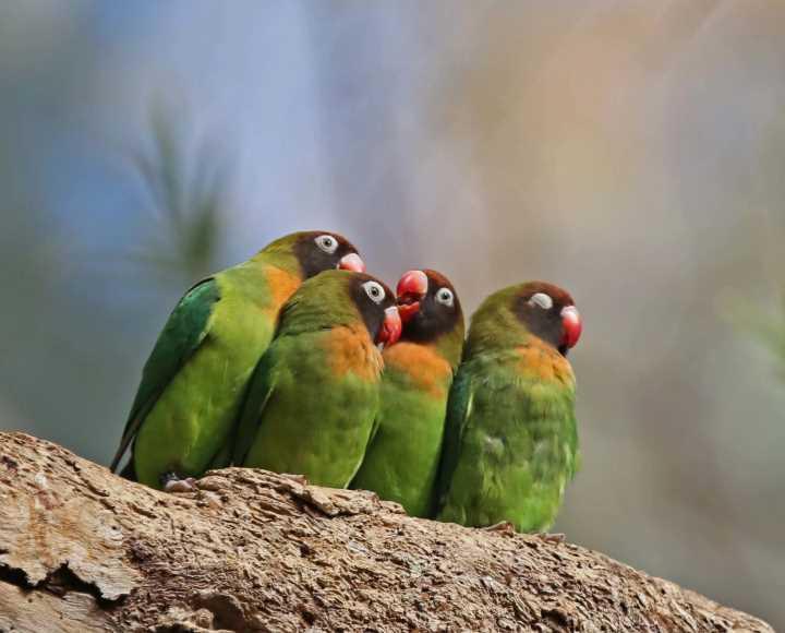 попугай неразлучник в домашних условиях