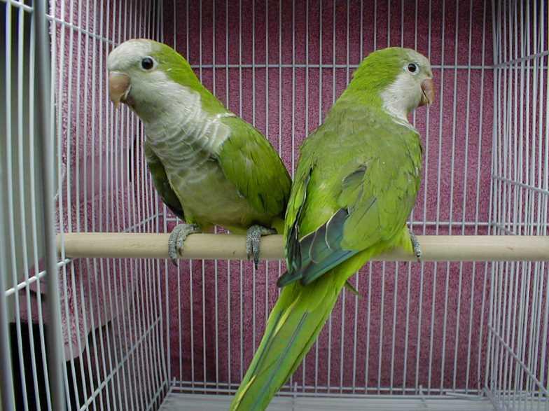какие есть породы попугаев