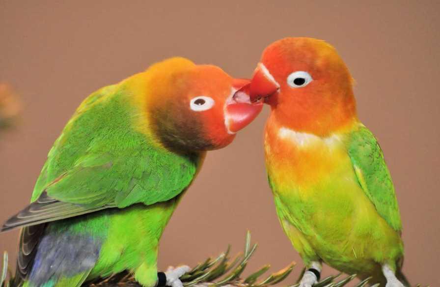 неразлучники попугаи в домашних условиях как ухаживать