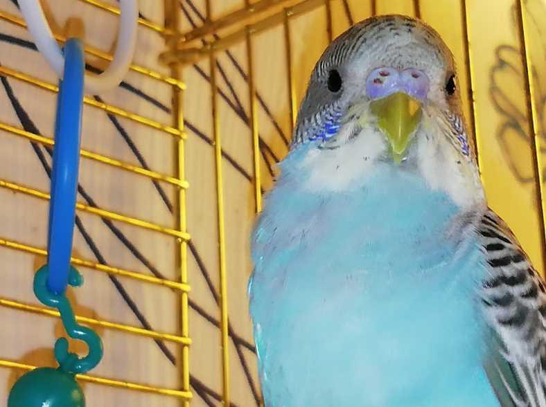 болезни волнистых попугаев их симптомы и лечение