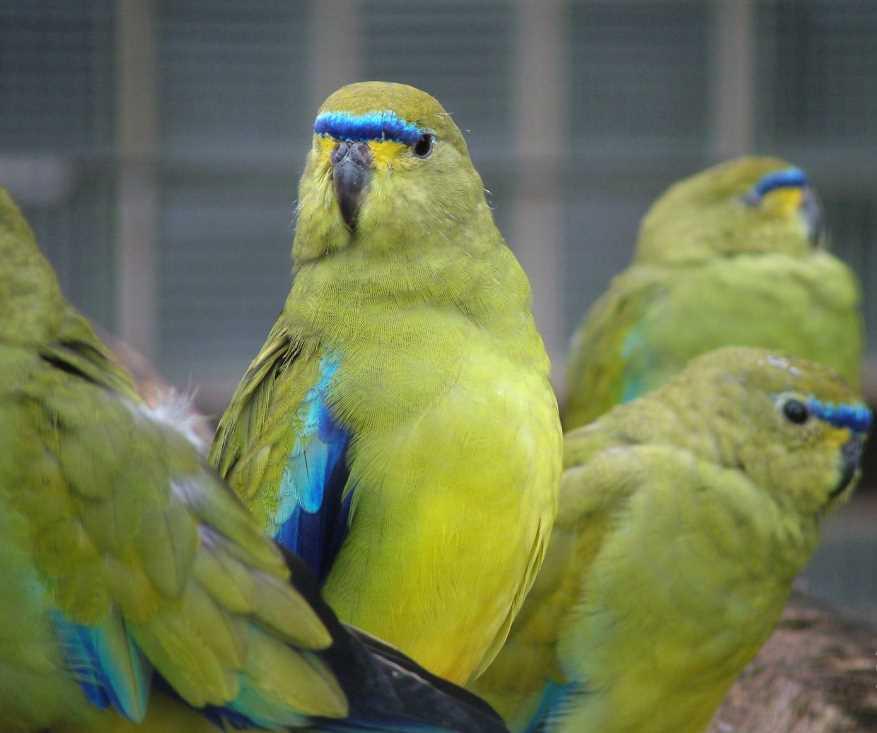 породы крупных попугаев