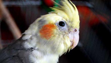 Photo of Болезни попугаев корелла симптомы и лечение