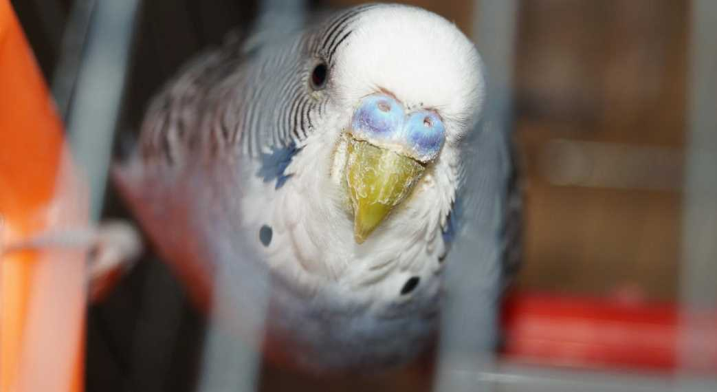 расслаивается клюв у попугая
