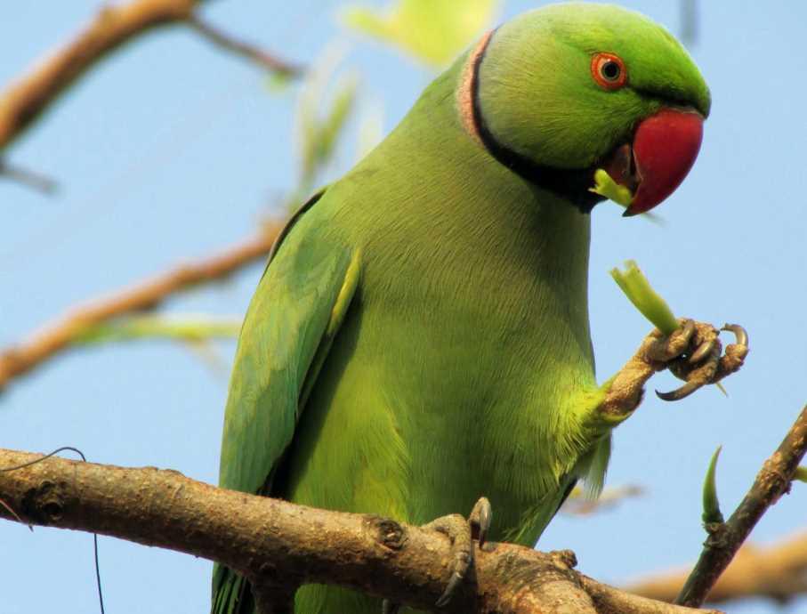 разведение ожереловый попугай