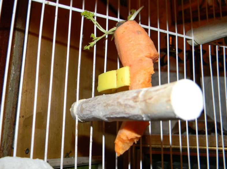 можно ли попугаю апельсиням