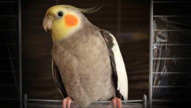 Photo of Описание попугая корелла