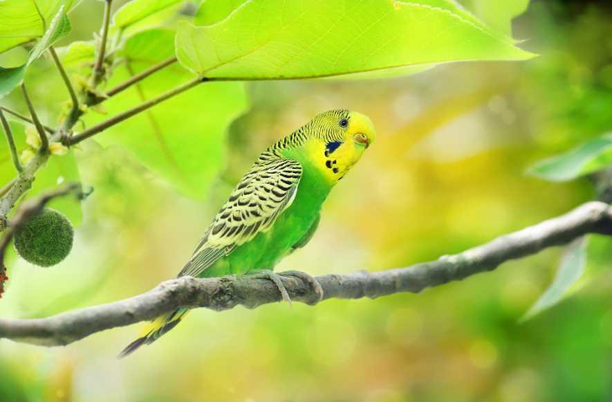 волнистый попугай голубой