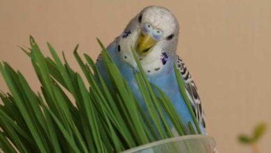 Какие веточки можно давать волнистым попугаям