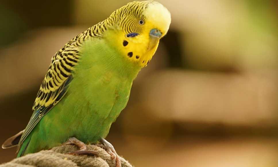 какие болезни у волнистых попугаев