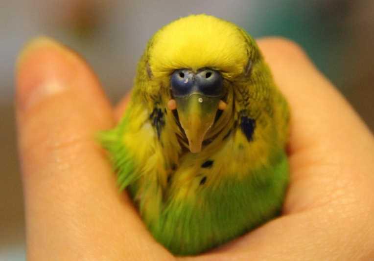 слоится клюв у волнистого попугая что делать
