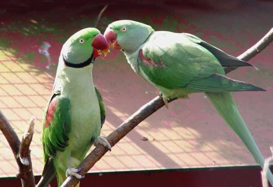 разведение ожереловый попугай в домашних условиях
