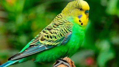 Какие фрукты и овощи можно давать волнистым попугаям