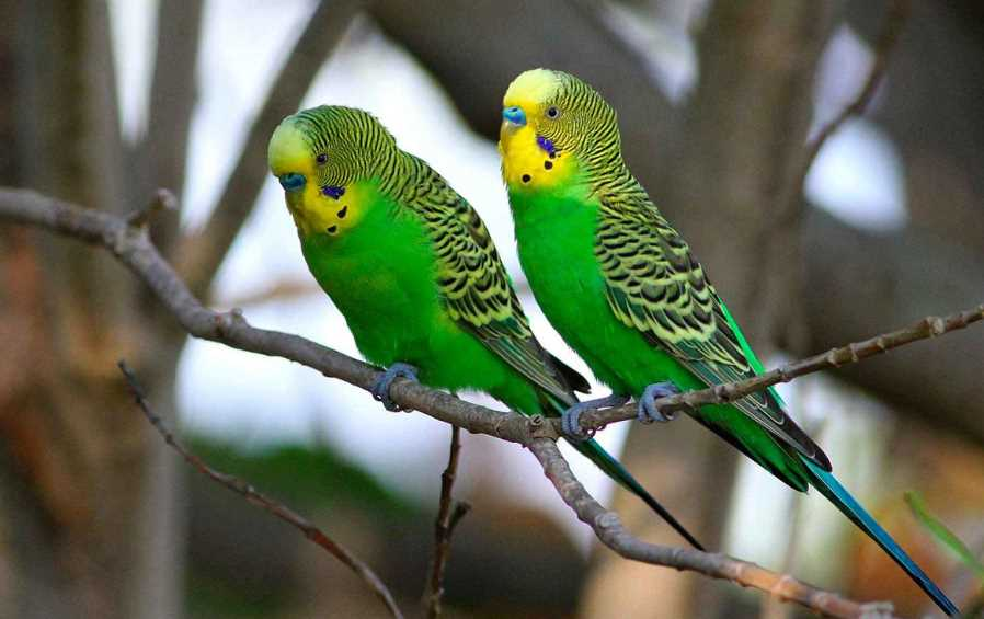 виды домашних попугаев