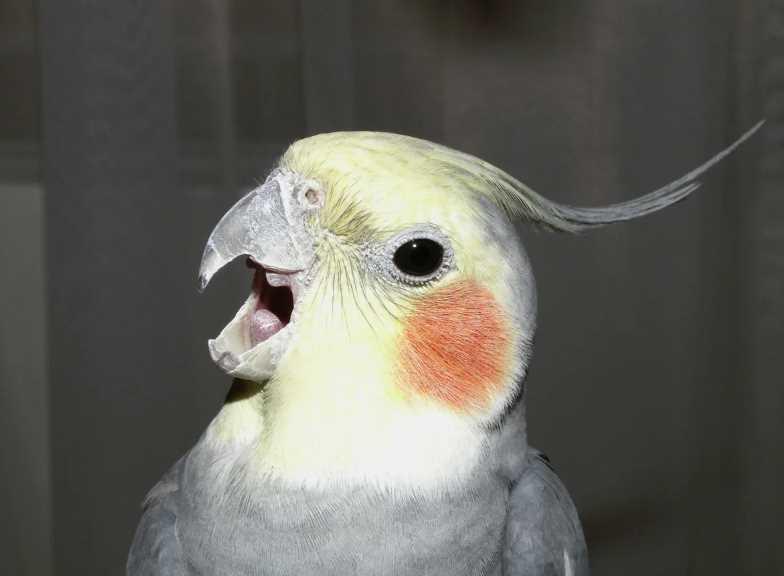 белый попугай с желтым хохолком
