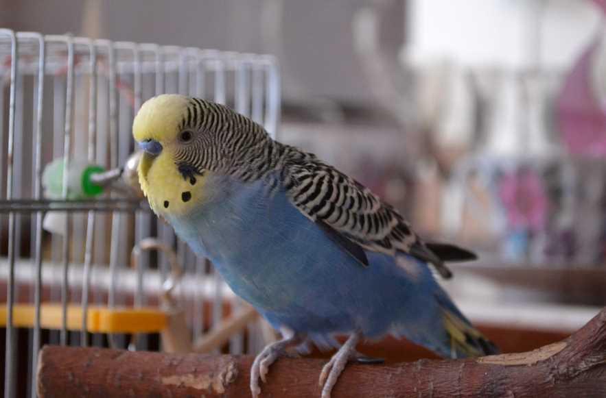 Волнистые попугайчики. Фото, звуки, как разговаривают, поют, виды, окрасы, родина, где обитают