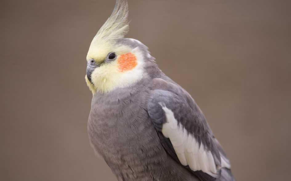 попугаи кореллы разговаривают