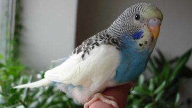 Оторвали хвост попугаю
