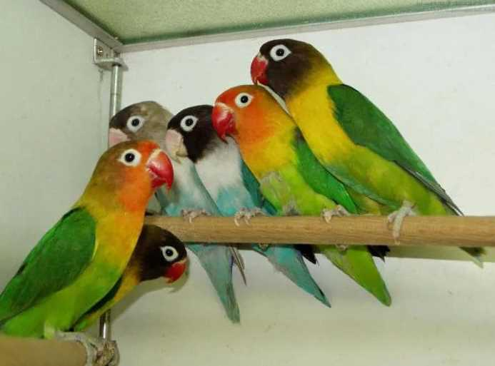 как определить пол попугая неразлучника