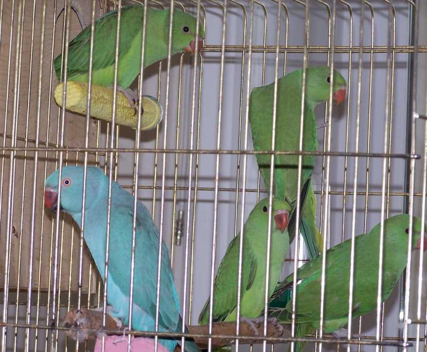 как приручить ожерелового к рукам попугая