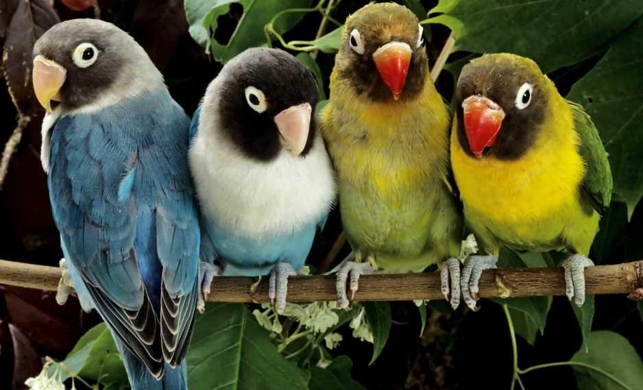уход за попугаем неразлучником в домашних условиях
