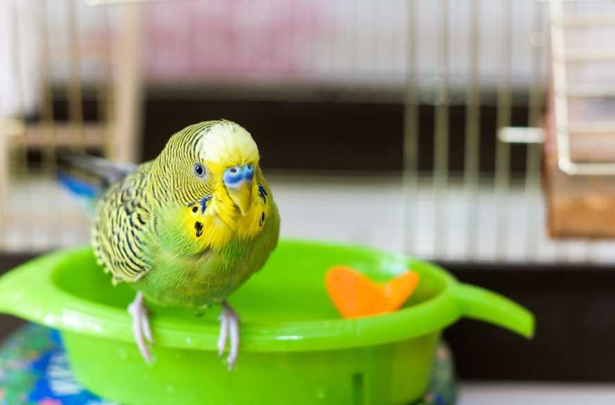 воду какую давать попугаю