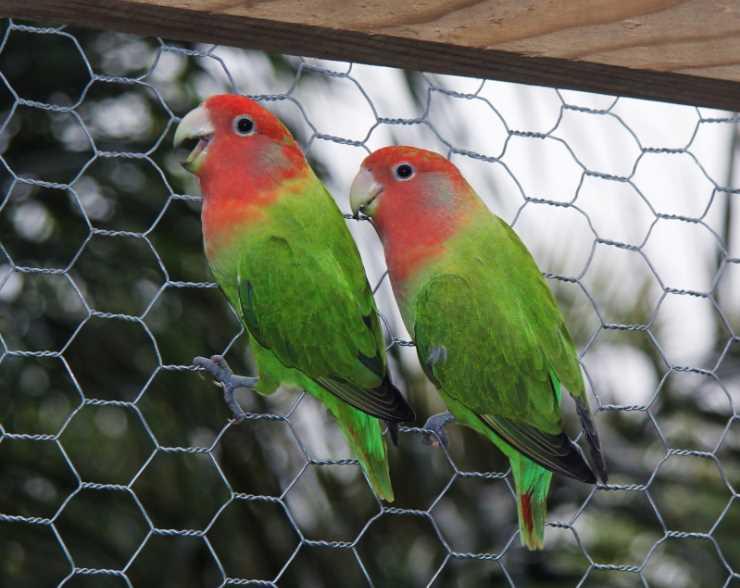чем питаются попугаи неразлучники