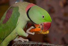 Photo of Ожереловый попугай — разведение вида