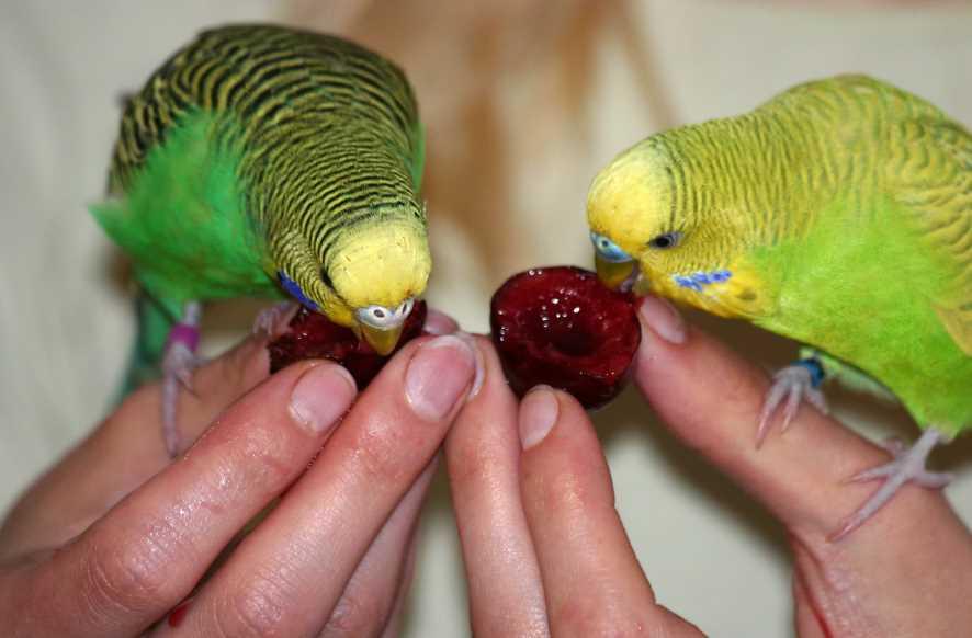 можно ли волнистым попугаям киви