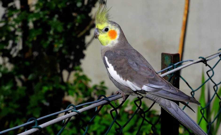корелла желтый