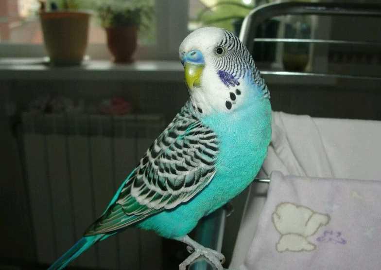 попугай сидит нахохлившись